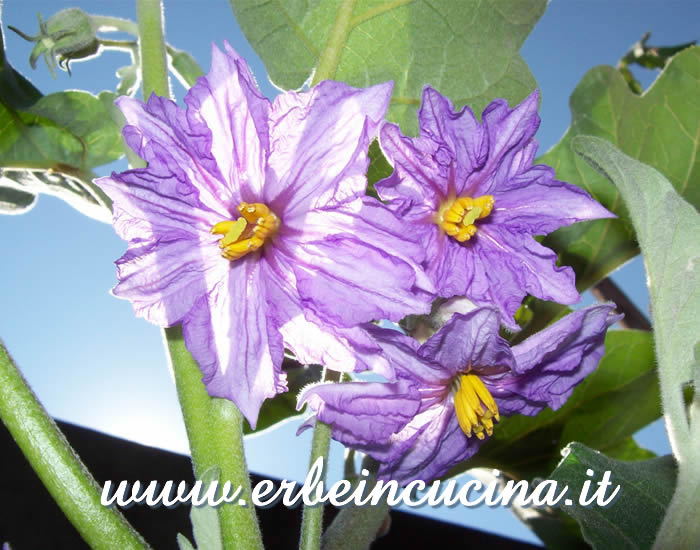 White aubergine flowers