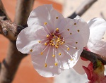 Apricot flower