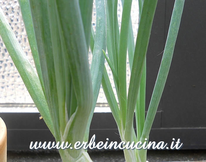 Cipolletta rossa (aglio del Galles) / Welsh onion