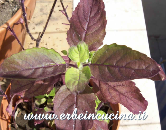 Basilico sacro rosso pronto da raccogliere / Red Holy Basil, ready to be harvested