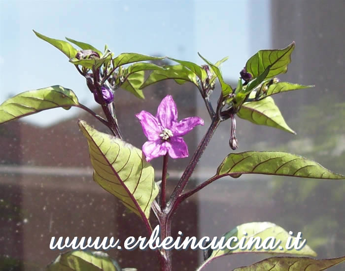 Primo fiore di peperoncino Black Prince / Black Prince chili pepper first flower
