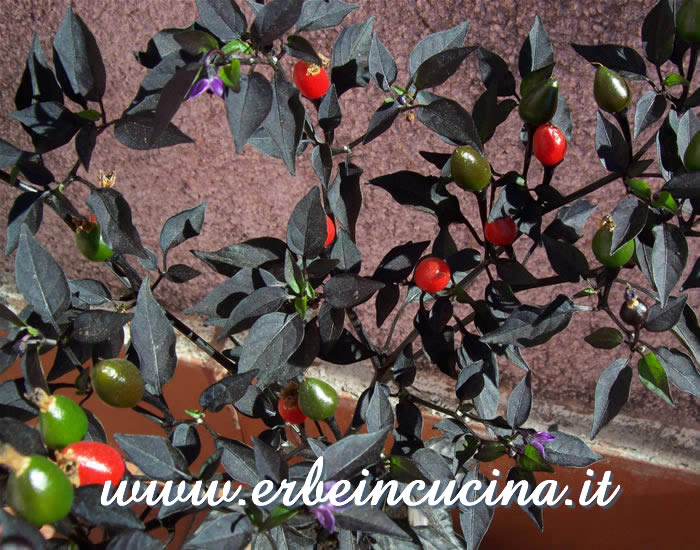 Peperoncini Black Prince a vari stadi di maturazione / Ripe and unripe Black Prince chili pepper pods