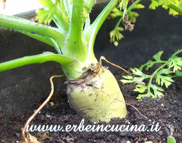 Carota bianca pronta da raccogliere / White Carrot, ready to be harvested