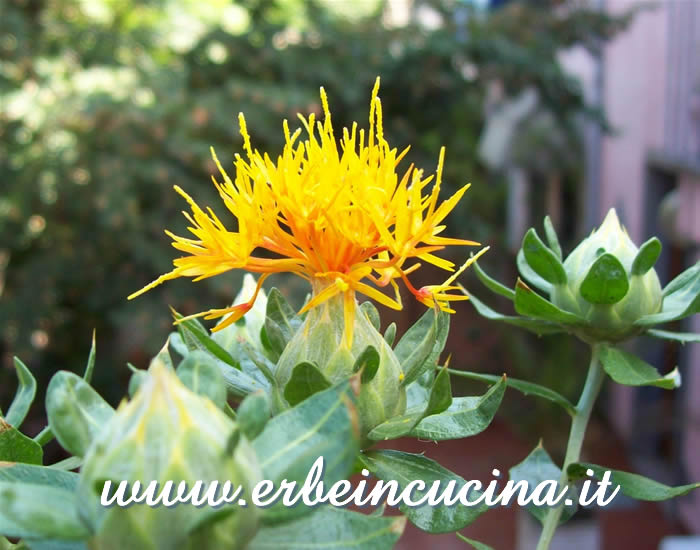 Fiore di cartamo / Safflower flower