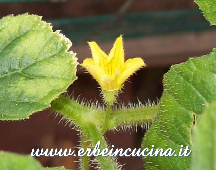 Fiore di cetriolino indiano / West India Gherkin flower