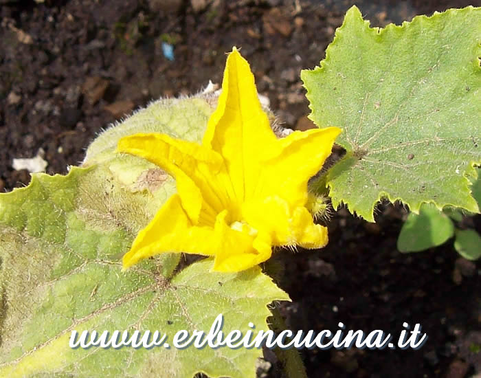 Fiore di Cetriolo Lemon / Lemon Cucumber Flower