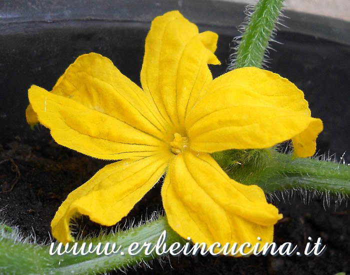 Fiore di cetriolo Marketmore / Marketmore cucumber flower