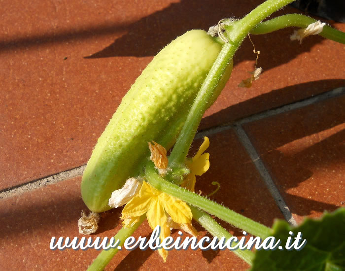 Piccolo cetriolo White Wonder / Small White Wonder Cucumber