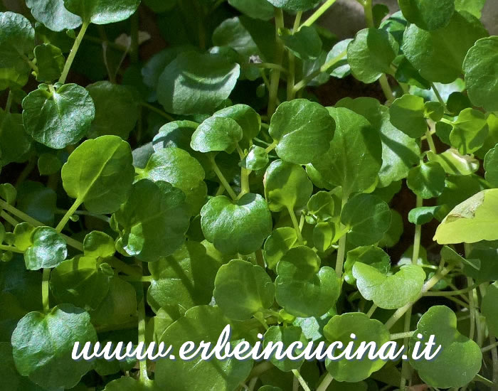 Crescione d'acqua pronto da raccogliere / Watercress, ready to be harvested