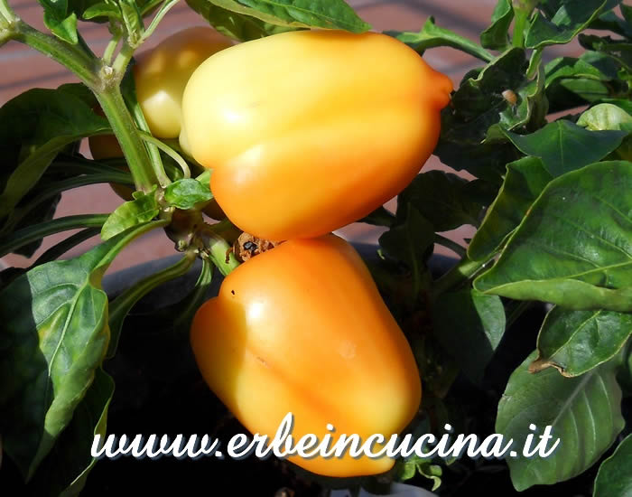 Peperoni Diamond White a vari stadi di maturazione / Ripening Diamond White bell peppers