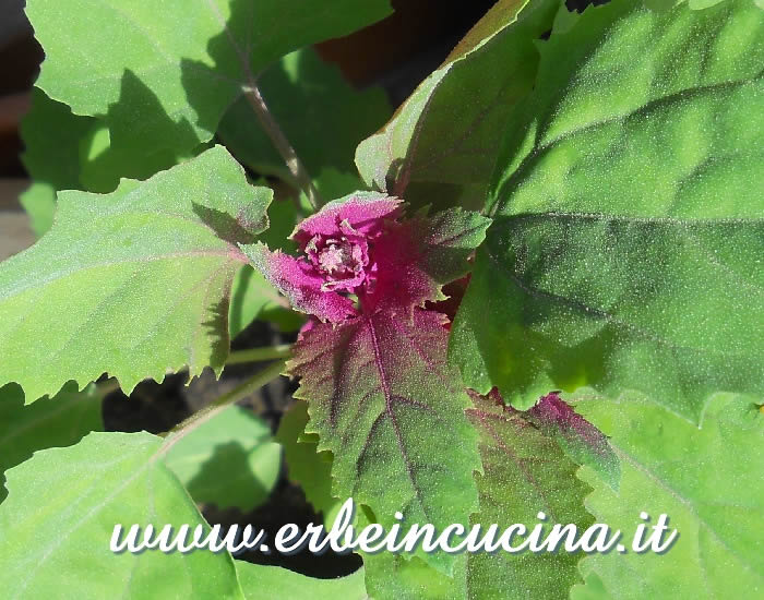 Farinello amaranto pronto da raccogliere / Magenta spreen, ready to be harvested