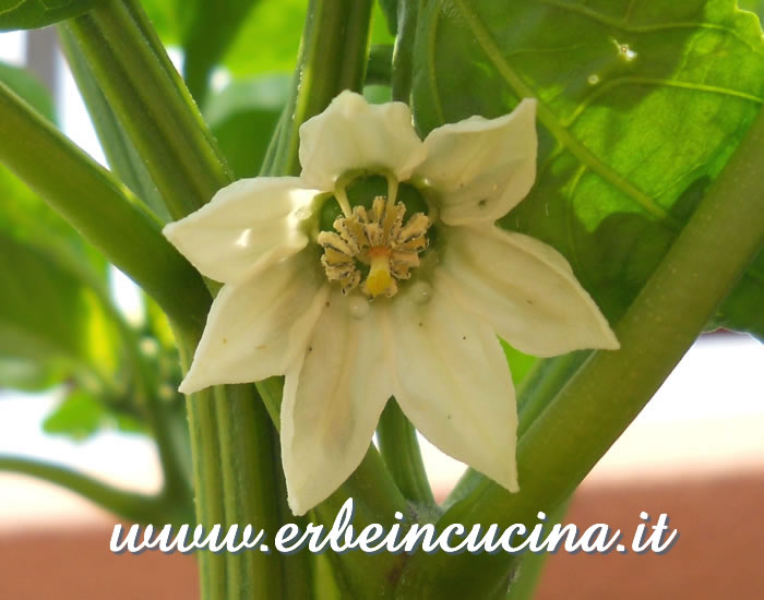 Fiore di peperone Gilboa / Gilboa pepper flower