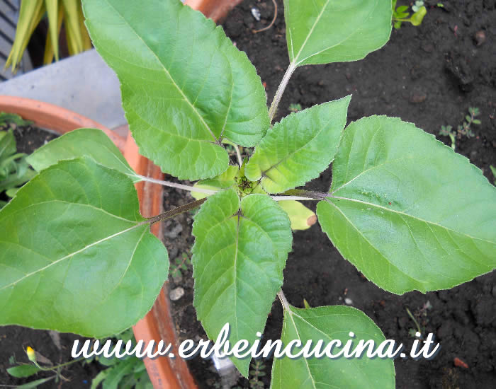 Giovane pianta di girasole / Sunflower Young Plant