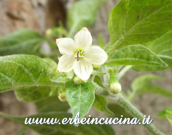 Fiore di Goat's Weed / Goat's Weed chili pepper Flower