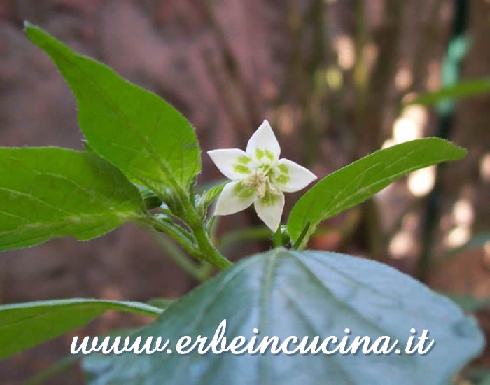 Primo fiore di Hot Lemon / Hot Lemon first flower