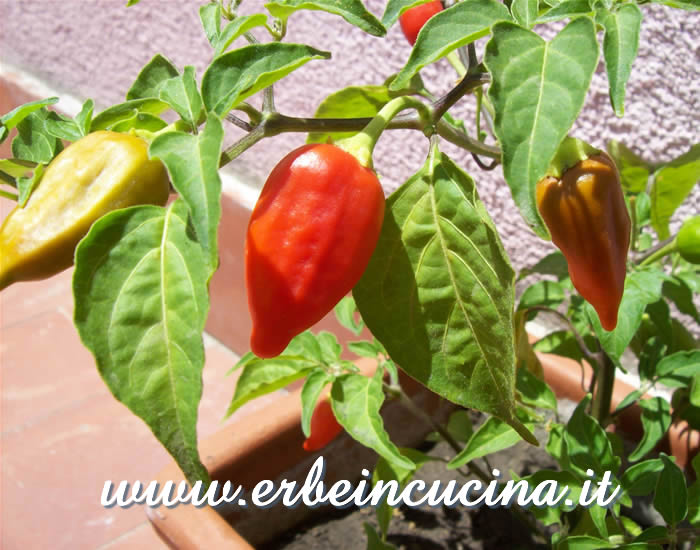 Peperoncino Inca Red Drop maturo / Ripe Inca Red Drop chili pepper pod