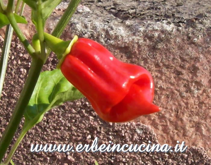 Peperoncino Jamaican Red Hot maturo / Ripe Jamaican Red Hot chili pepper pod