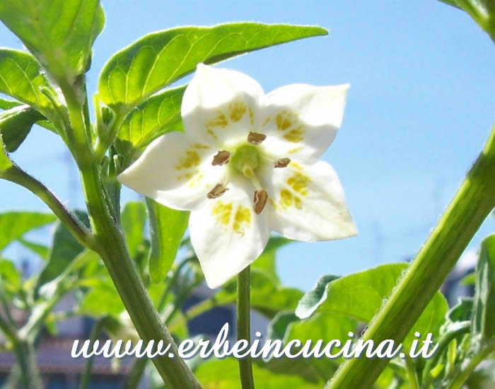 Fiore di peperoncino Jamy / Jamy Pepper chili pepper flower