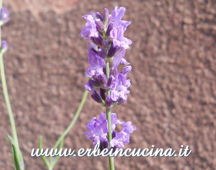Fiore di lavanda inglese / English lavender flower