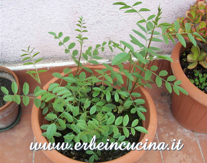 Liquirizia del secondo anno / Licorice plants, two years old