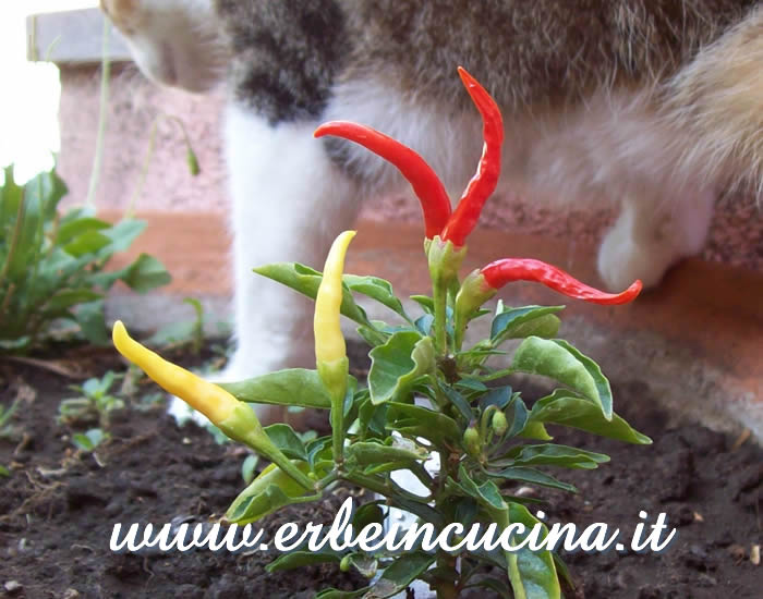 Peperoncini Medusa a vari stadi di maturazione... e gatta sullo sfondo / Ripe and unripe Medusa chili pods... and cat on the background