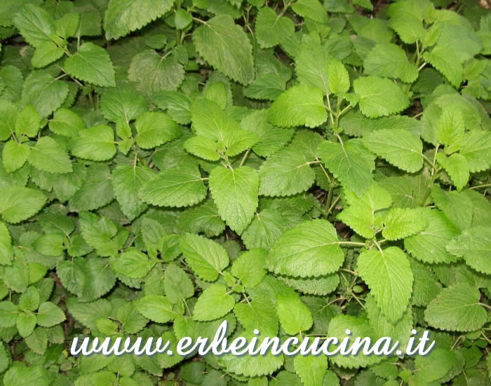 Melissa primaverile pronta da raccogliere / Spring Lemon Balm, ready to be harvested