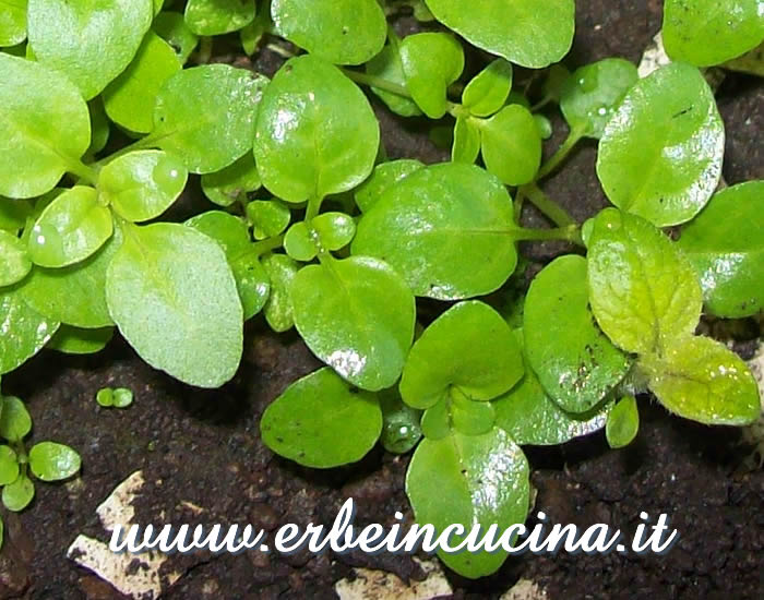 Piantine neonate di mentuccia / Newborn Pennyroyal Plants