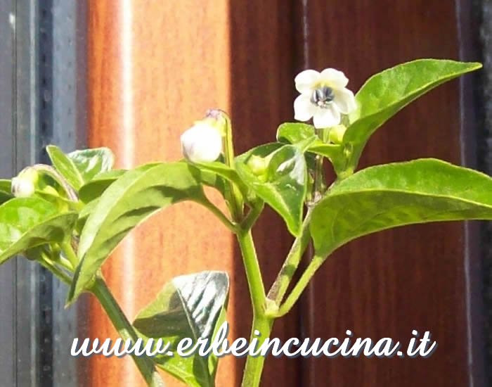 Primo fiore di peperoncino Numex Twilight / Numex Twilight chili pepper first flower