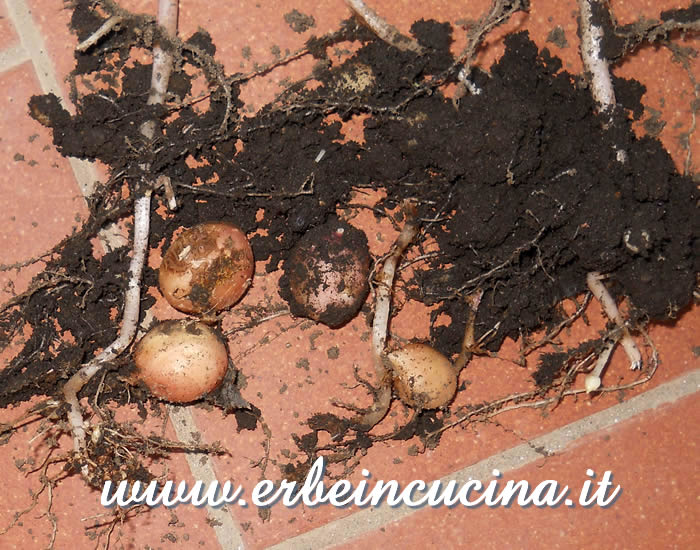 Patatine da contenitore / Small potatoes from pots