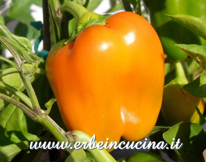 Peperone giallo maturo / Ripe yellow bell pepper
