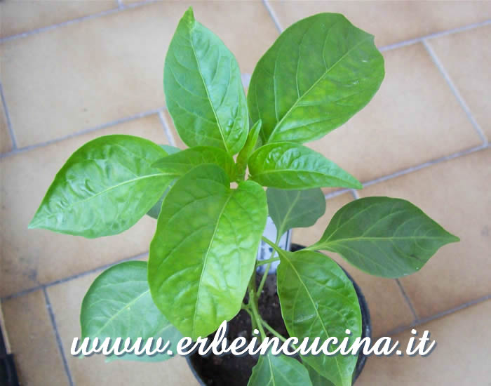 Giovane pianta di Peter Pepper Red / Peter Pepper Red, young plant