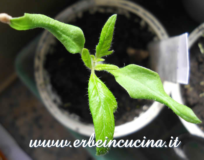 Pomodoro Berner Rose, prime foglie vere / Berner Rose tomato, first true leaves
