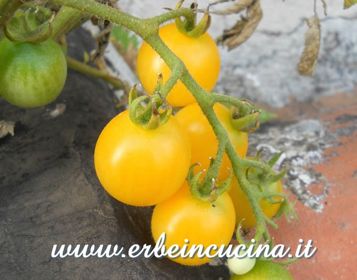 Pomodori ciliegino Biancaneve (Cherry Snow White) / Cherry Snow White Tomatoes