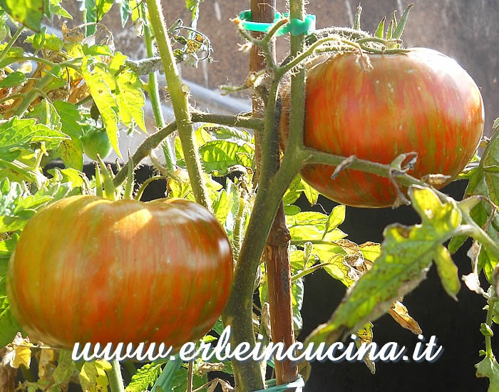 Pomodori Chocolate Stripes  / Chocolate Stripes tomatoes