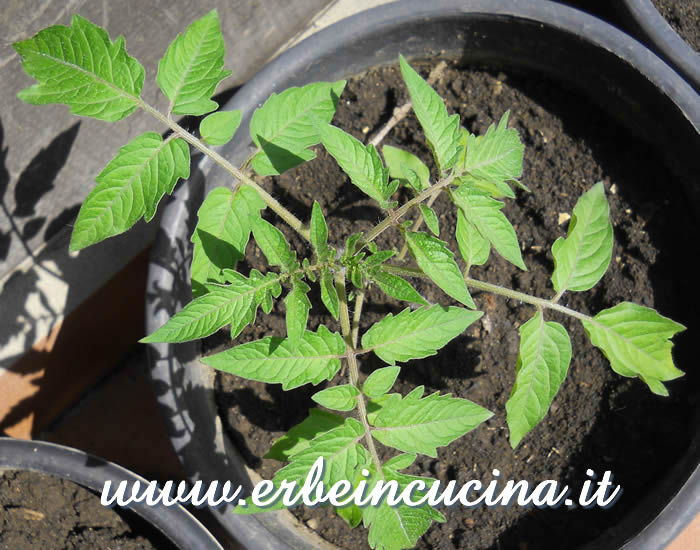 Pianta di pomodoro Golden Sunrise / Golden Sunrise tomato plant