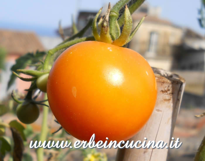 Pomodoro Golden Sunrise maturo / Ripe Golden Sunrise tomato