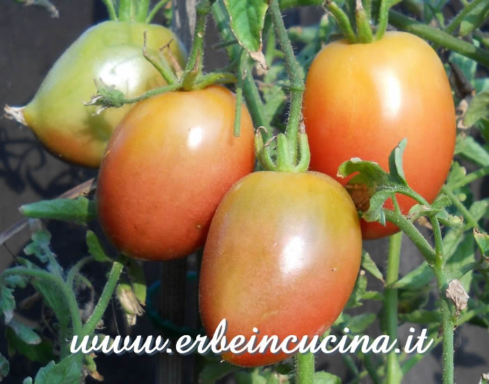 Pomodori datterini Purple Russian  / Purple Russian Plum Tomatoes