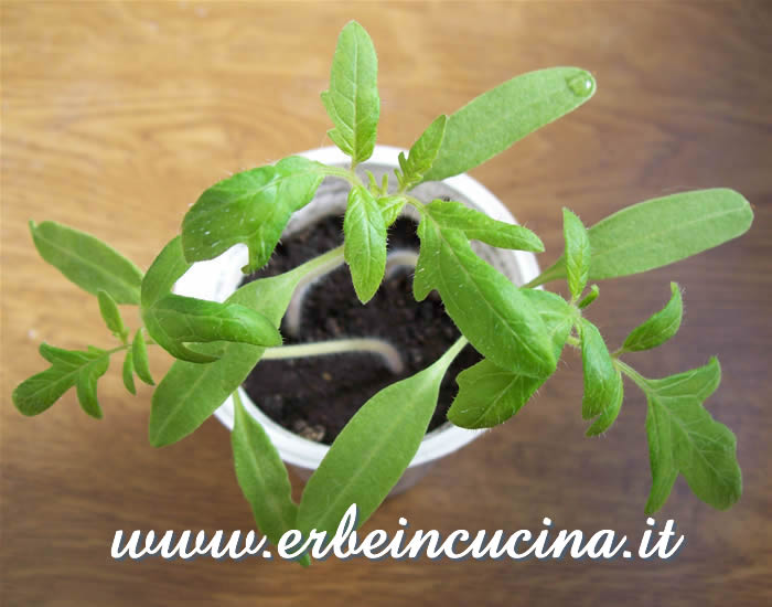 Pomodoro Green Zebra, prime foglie vere / Green Zebra Stripe tomato, first true leaves
