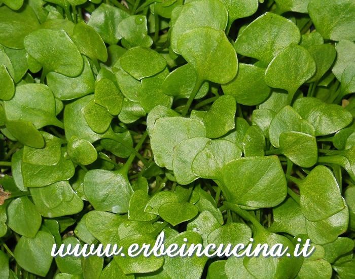 Portulaca invernale pronta da raccogliere / Winter purslane, ready to be harvested