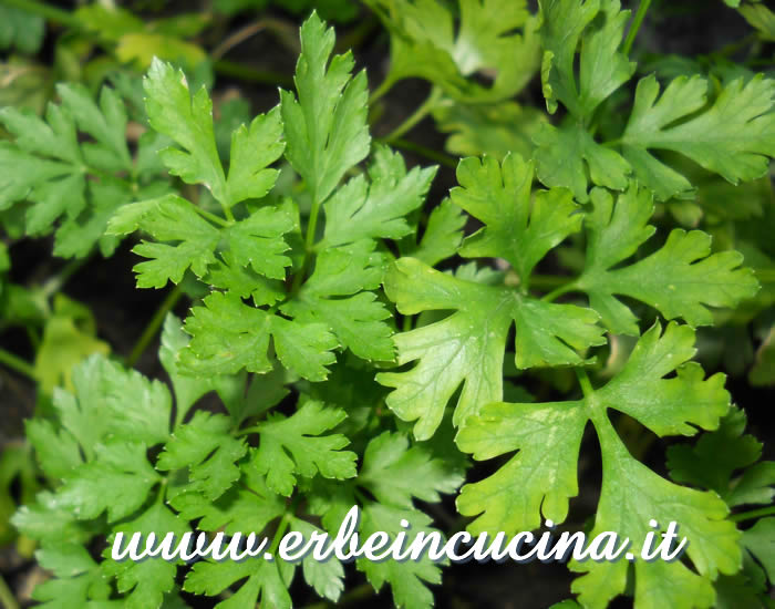 Prezzemolo Hamberg da radice / Hamberg root parsley