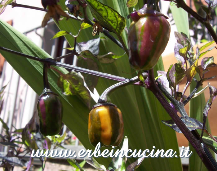 Peperoncini Rain Forest Tricolor con caratteristiche striature / Ripening striped Rain Forest Tricolor chili pods