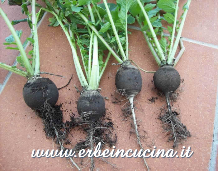 Raccolto di ramolacci 'Winter Black' / 'Winter Black' radishes harvest