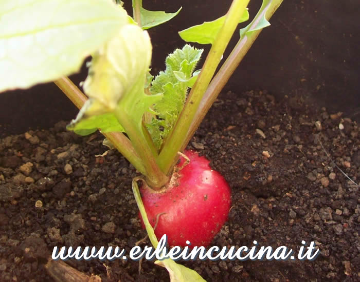 Ravanello Burro pronto da raccogliere / Burro Radish, ready to be harvested