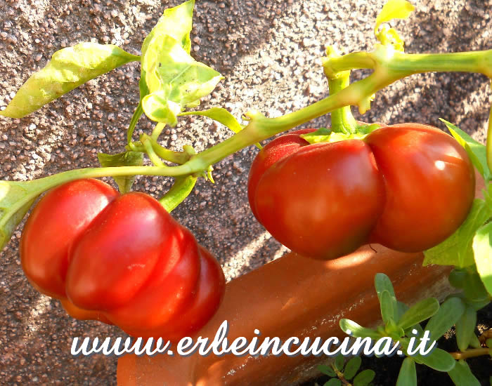 Peperoncini Round of Hungary maturi / Ripe Round of Hungary chili pods