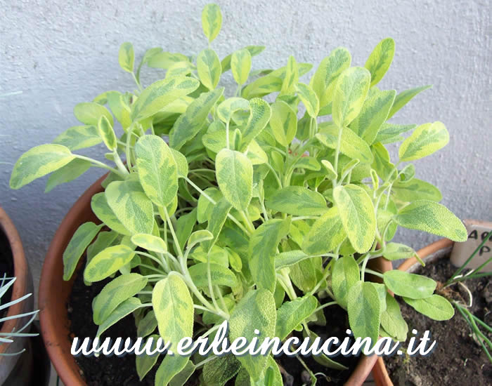 Salvia dorata icterina pronta da raccogliere / Golden Variegated Sage, ready to be harvested