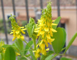 Yellow sweetclover